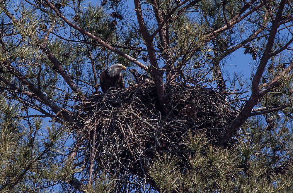 eagle nest mature personals Our national symbol, the mature bald eagle is unmistakable with its dark brown body, yellow bill, and white head and tail bald eagle nest.
