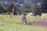 Australia New Zealand Kangaroo